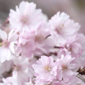 桜ショット その2