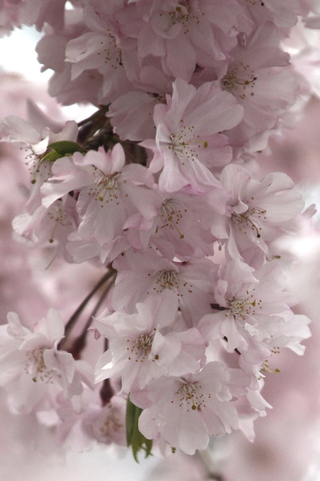 桜ショット その3