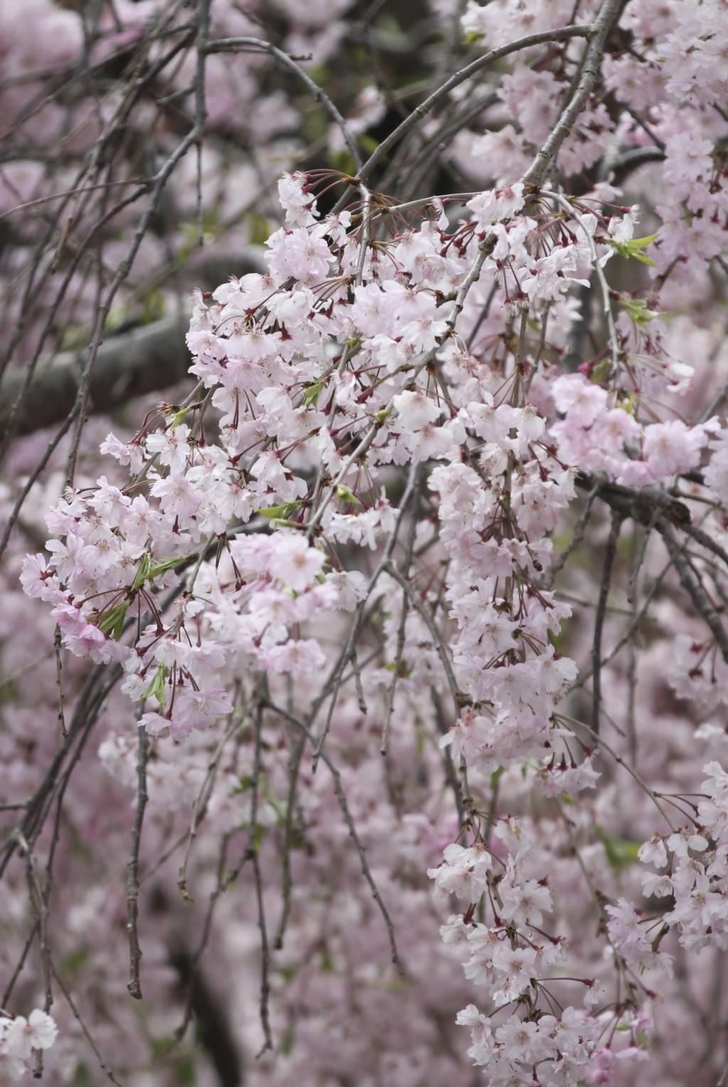 桜ショット その1