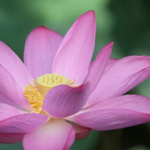 蓮の花を撮ってみた 1