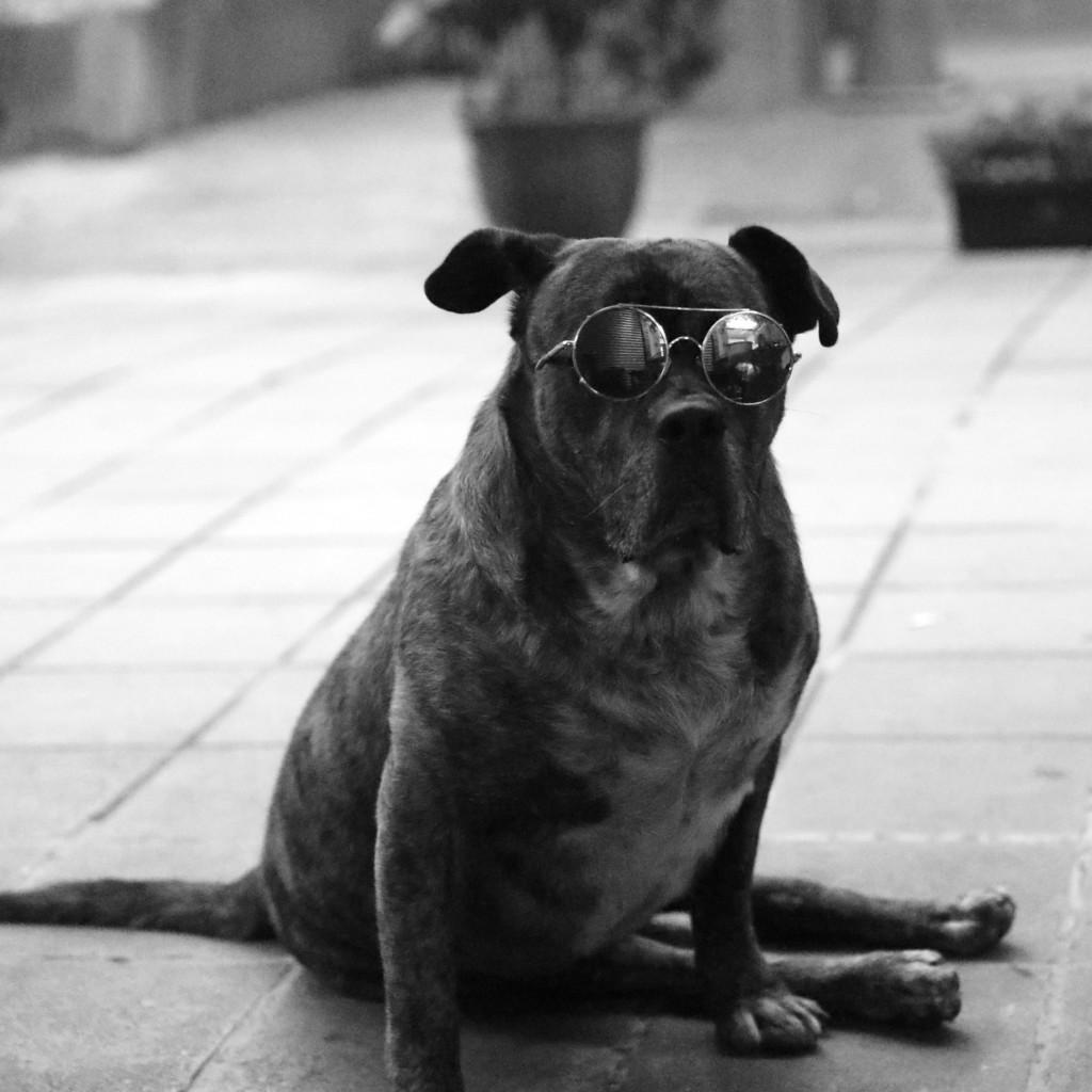 メガネわんこ(あえて白黒で、それっぽいムード表現)